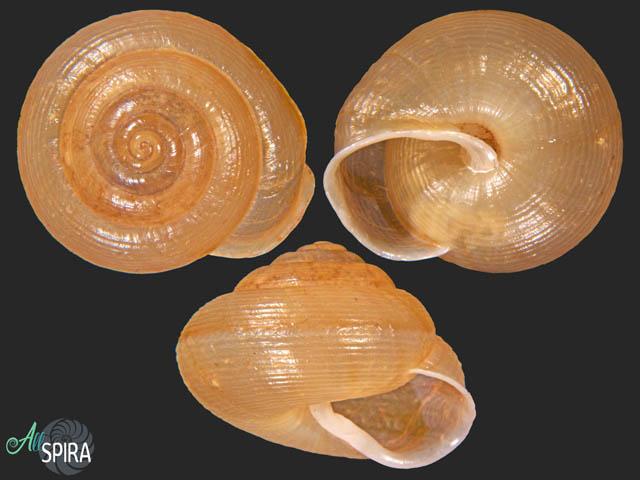 Jeanneretia bicincta pityonesica