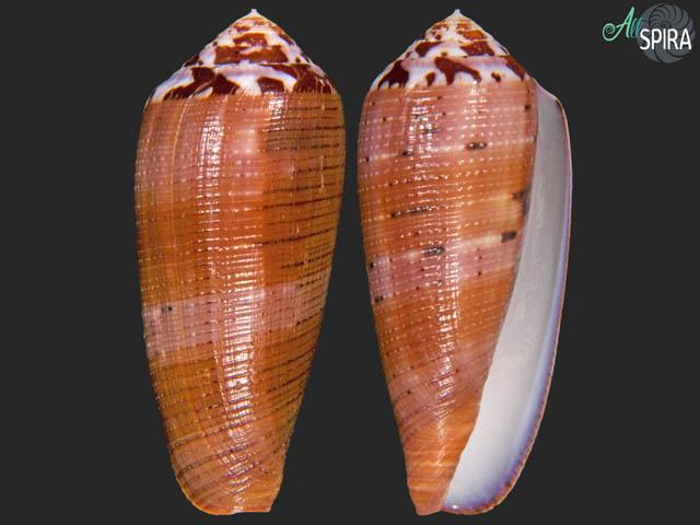 Conus circumcisus