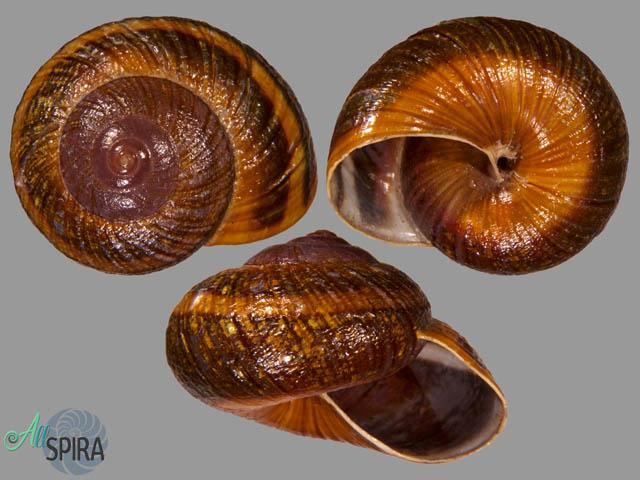 Hemiplecta obliqueundulata