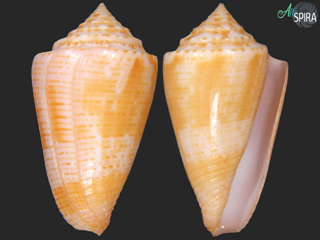 Jaspidiconus mindanus - SUPERB