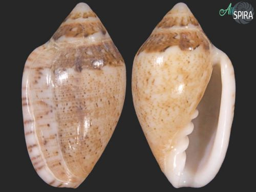Marginella piperata