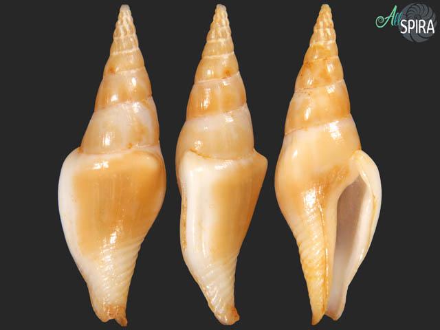 Strombina fusinoidea