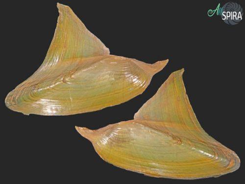 Hyriopsis bialata