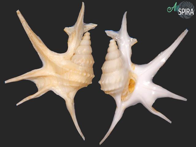 Aporrhais serresianus - FREAK