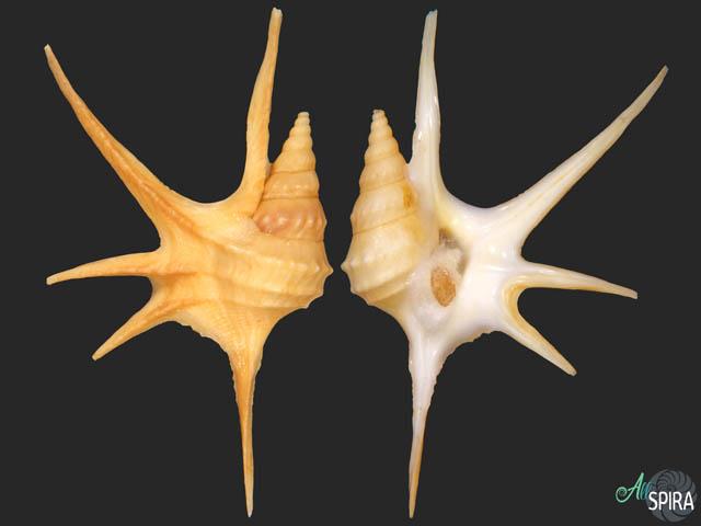 Aporrhais serresianus- LONG SPINES