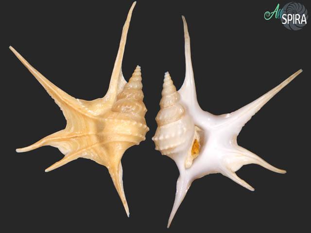 Aporrhais serresianus - SUPERB