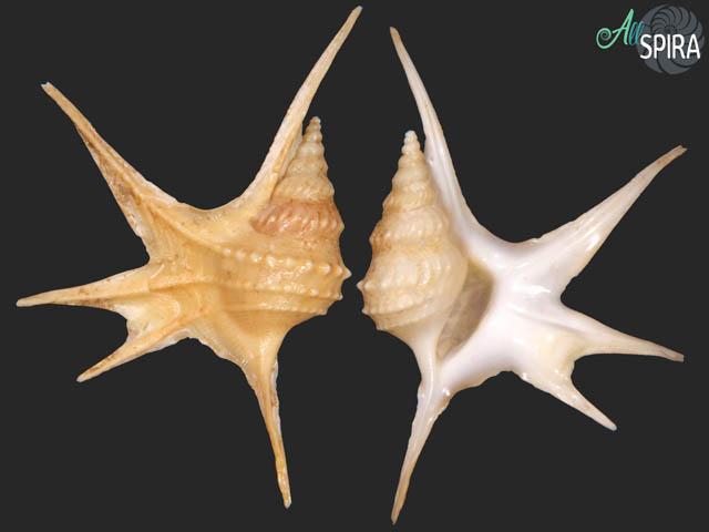 Aporrhais serresianus