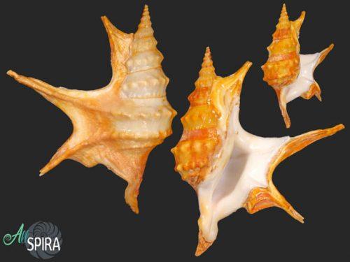 Aporrhais pespelicani