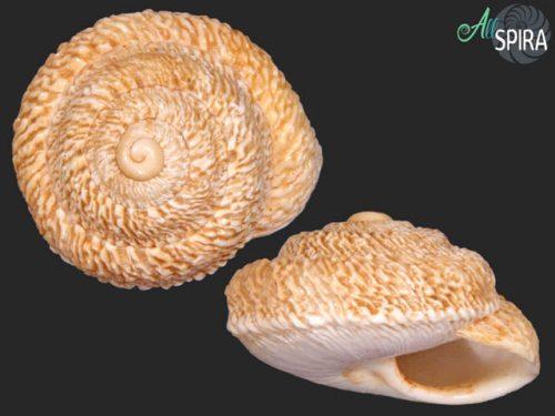 Sphincterochilidae