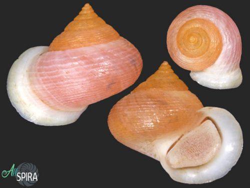 Troschelviana petitiana - SUPERB