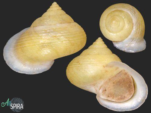 Troschelviana petitiana