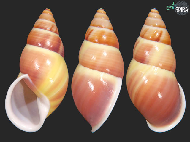 Amphidromus maculiferus