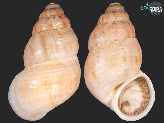 Leonia mamillaris compacta
