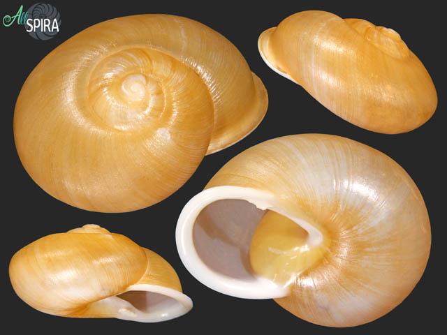Zachrysia petitiana petitiana - SUPERB