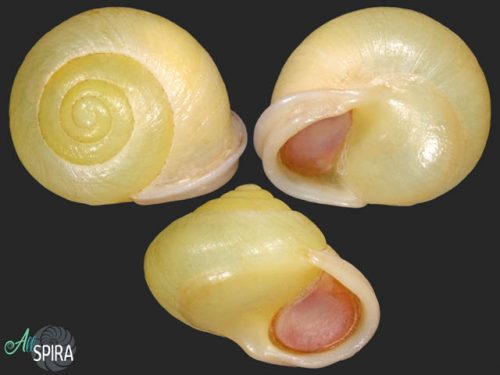 Waldemaria japonica reinii