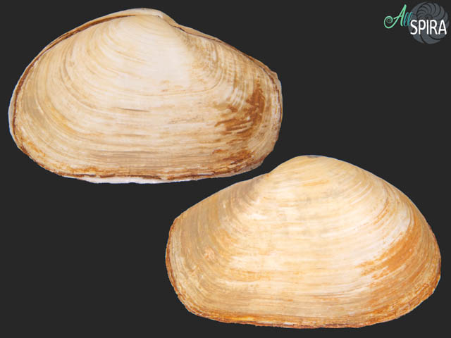 Thracia pubescens - GIANT