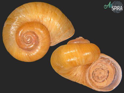 Neocyclotus translucidus