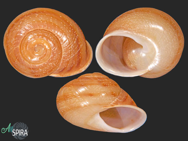 Atlasica interica