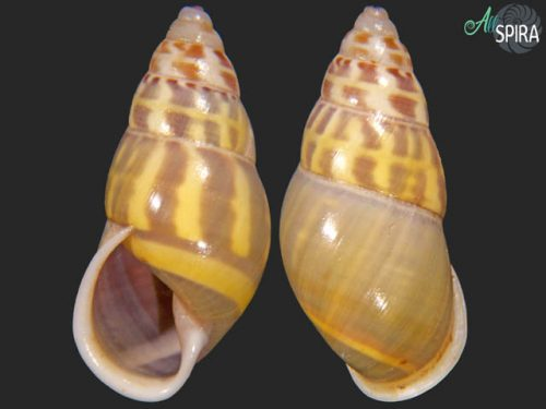 Amphidromus areolatus
