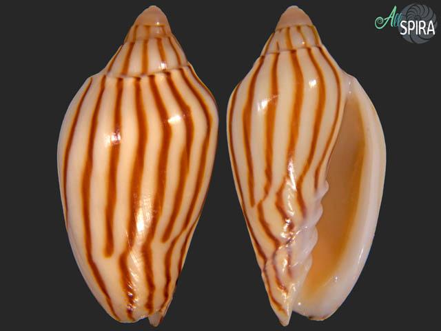 Amoria dampieria