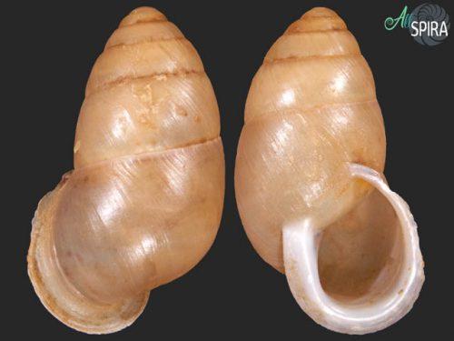 Mordania cf omanensis