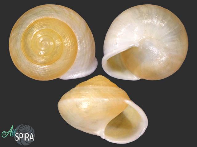 Helicina angulata