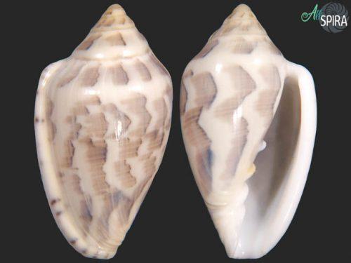 Marginella nebulosa