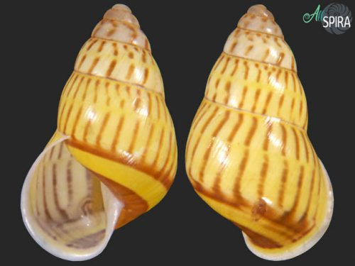Amphidromus jacobsoni