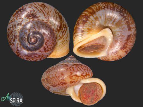 Cyclophorus stevenabbasorum