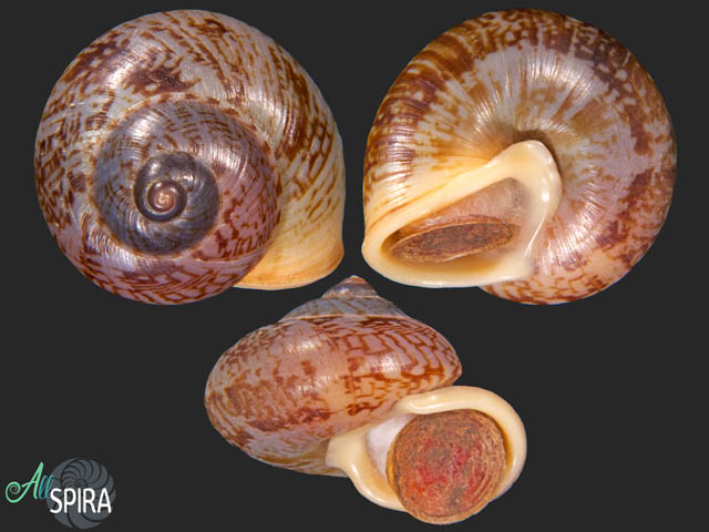 Cyclophorus stevenabbasorum