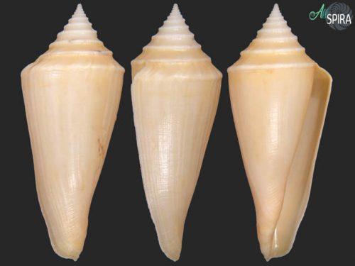 Profundiconus teramachii
