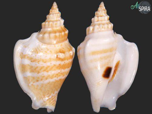 Dolomena variabilis athenia