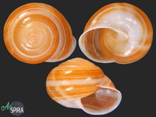 Figuladra yeppoonensis