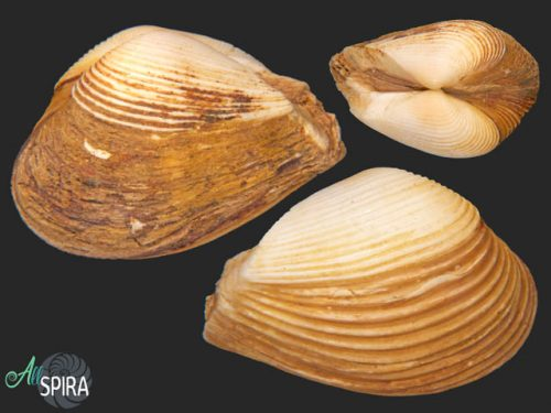 Corbula fortisulcata