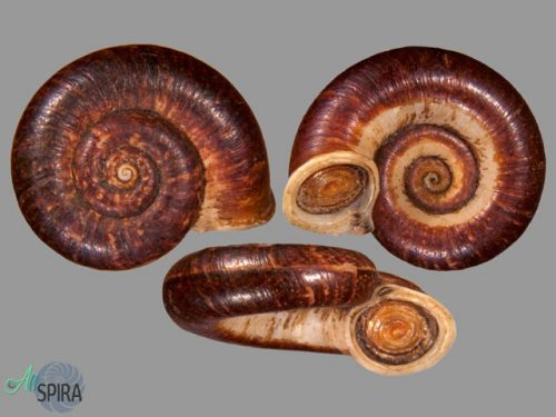 Crossopoma cornuvenatorium