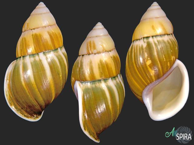 Amphidromus johnstanisici