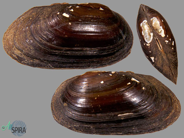 Diplodon rhuacoicus