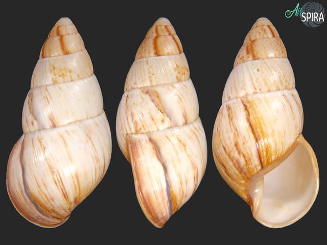 Thaumastus thompsonoides
