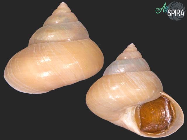 Calliostoma modestula