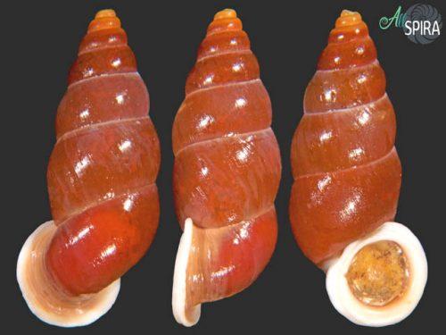 Schistoloma macgregori