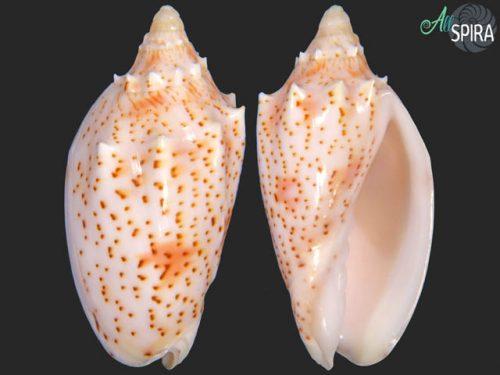 Cymbiola pulchra peristicta