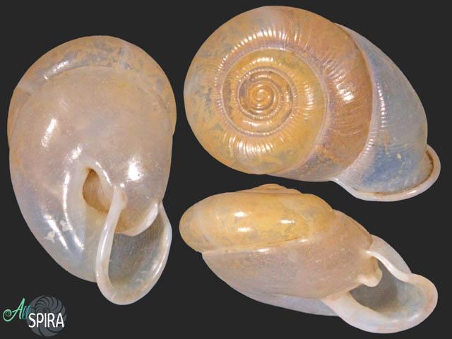 Haploptychius cf blaisei