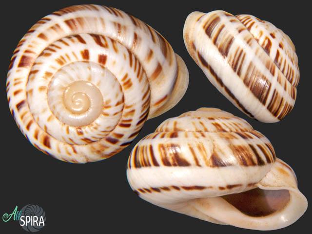 Coryda alauda quinonesi