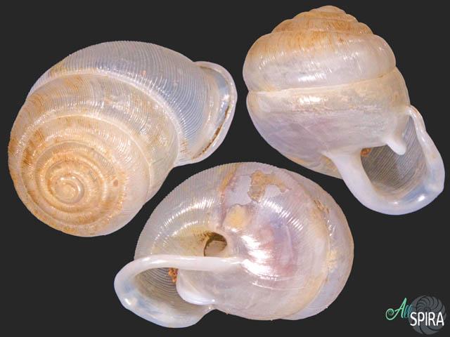 Haploptychius sp