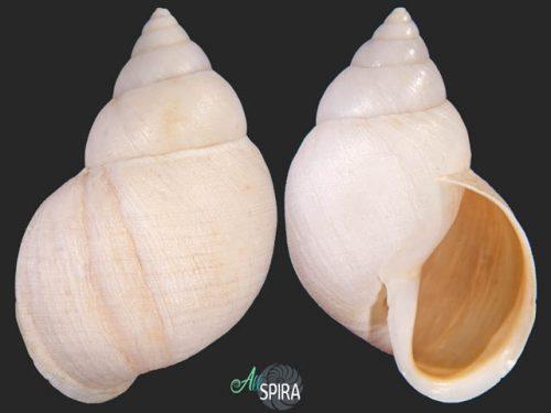 Naesiotus montezuma