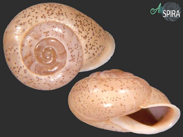 Coryda ovumreguli