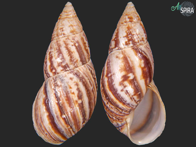 Drymaeus acobambensis