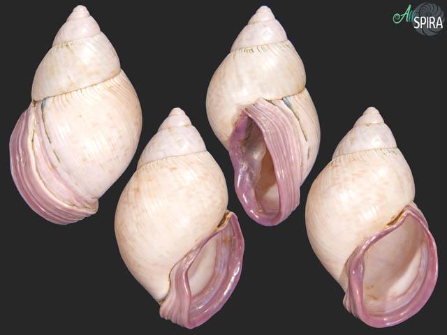 Porphyrobaphe iostoma bilabratus