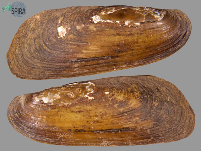 Mycetopoda siliquosa