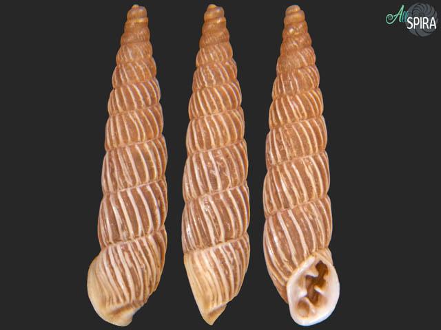 Spixia philippii